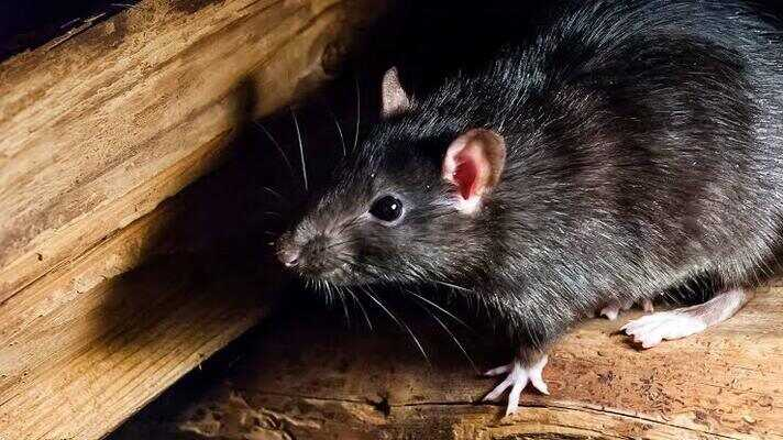 How to Get Rid of Rats Under Your Decking